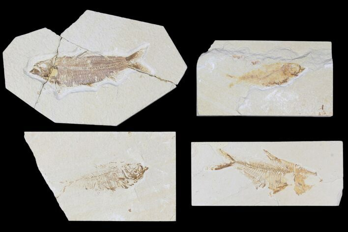 "Wholesale Lot: Cheap 1.5 to 4"" Green River Fossil Fish - 69 Pieces"
