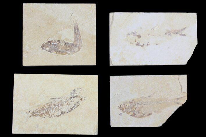 "Wholesale Lot: Cheap 1.5 to 4"" Green River Fossil Fish - 57 Pieces"