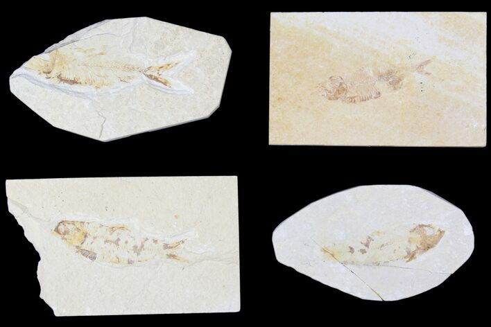 Wholesale Lot: Green River Fossil Fish - 71 Pieces