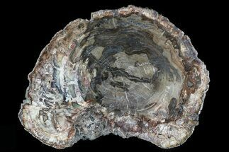 "17.4"" Detailed Petrified Wood (Araucaria) Round - Madagascar  For Sale, #81344"