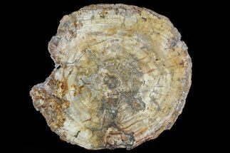 "Buy 14"" Colorful Petrified Wood (Araucaria) Round - Madagascar  - #81355"