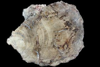 "14.7"" Detailed Petrified Wood (Araucaria) Slab - Madagascar  For Sale, #81440"