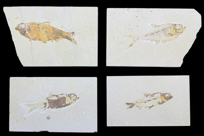 "Wholesale Lot: 1.5 to 3"" Green River Fossil Fish - 23 Pieces"