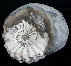 "1.6"" White Pleuroceras Ammonite - Germany For Sale, #6155"
