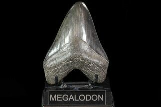 "Buy Serrated, 4.77"" Fossil Megalodon Tooth - Georgia - #81676"