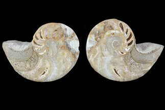 "Buy 2.6"" Cut & Polished Nautilus Pair - Madagascar - #82129"