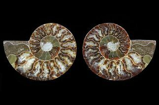 Cleoniceras - Fossils For Sale - #82278