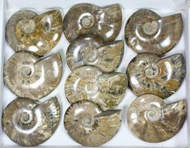 "Buy Wholesale Lot: 5 to 5 1/2"" Polished Ammonite Fossils - 10 Pieces - #82648"
