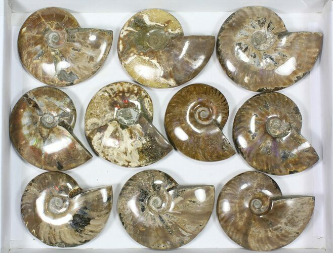 "Wholesale Lot: 4 to 5"" Polished Ammonite Fossils - 10 Pieces"