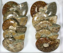 "Buy Wholesale Lot: 5 to 7"" Polished Ammonite Fossils - 10 Pieces - #82654"