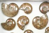 "Wholesale: 1kg Iridescent, Red Flash Ammonites (2-3"") - 13 Pieces - #82470-3"