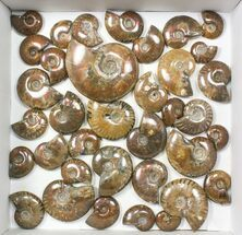 "Wholesale: 1kg Iridescent, Red Flash Ammonites (1-3"") - 37 Pieces For Sale, #82475"