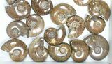 "Wholesale: 1kg Iridescent, Red Flash Ammonites (2-2.5"") - 24 Pieces - #82482-2"