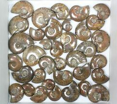 "Wholesale: 1kg Iridescent, Red Flash Ammonites (1-2.5"") - 36 Pieces For Sale, #82493"