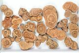 Wholesale: Sandstone Concretions (Pseudo-Stromatolites) - 38 Pieces - #82762-2