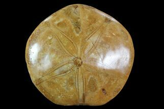 "2.5"" Polished Fossil Sand Dollar (Pygurus) - Jurassic For Sale, #82886"