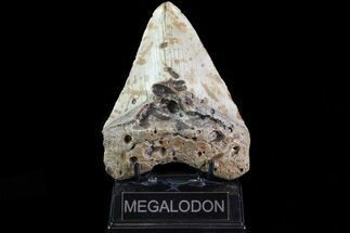 "Bargain, 5.42"" Megalodon Tooth - North Carolina For Sale, #82931"