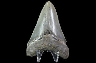 "Buy Serrated, 2.86"" Fossil Megalodon Tooth - Georgia - #83941"