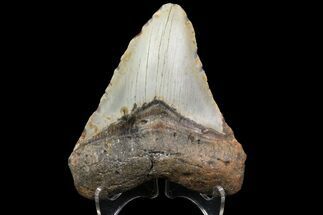 Carcharocles megalodon - Fossils For Sale - #83949