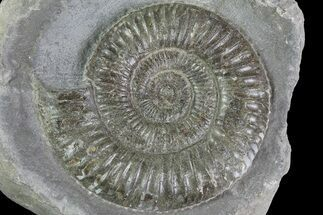 "Buy 2.1"" Dactylioceras Ammonite Fossil - England - #84916"