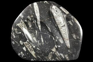 "Buy 7.5"" Decorative Tray with Orthoceras Fossils - Morocco - #85336"