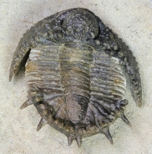 "1.25"" Akantharges Mbareki Trilobite - Tinejdad, Morocco"