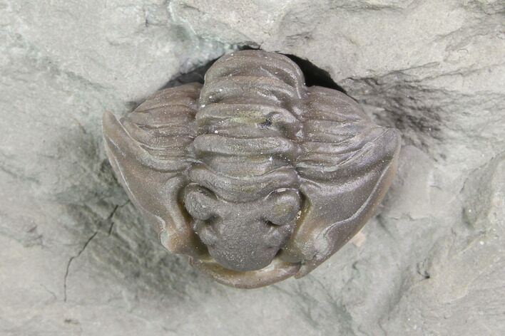 ".75"" Wide Enrolled Flexicalymene Trilobite - Mt. Orab, Ohio"