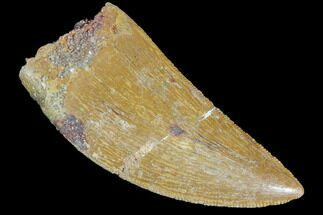 "Buy Serrated, 1.55"" Juvenile Carcharodontosaurus Tooth - #84388"