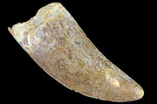 "Serrated, 2.23"" Carcharodontosaurus Tooth - Real Dinosaur Tooth For Sale, #85859"