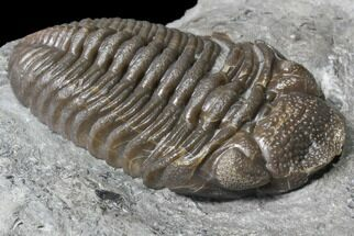 "2.75"" Long Eldredgeops Trilobite - Paulding, Ohio For Sale, #85556"