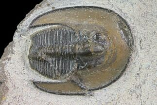 Lioharpes? - Fossils For Sale - #85962
