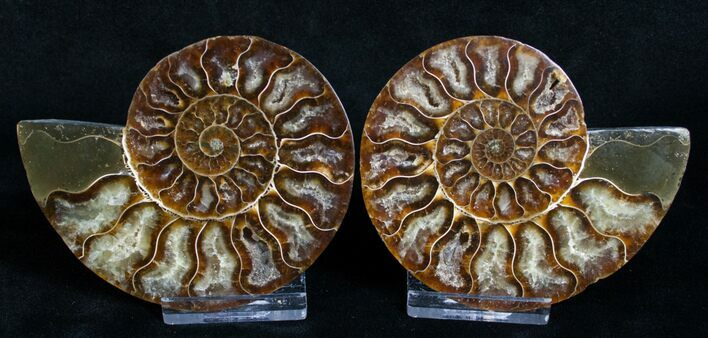 "3.5"" Cut and Polished Ammonite Pair"