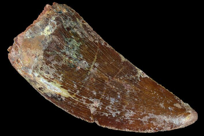 "Serrated, 1.88"" Carcharodontosaurus Tooth - Real Dinosaur Tooth"