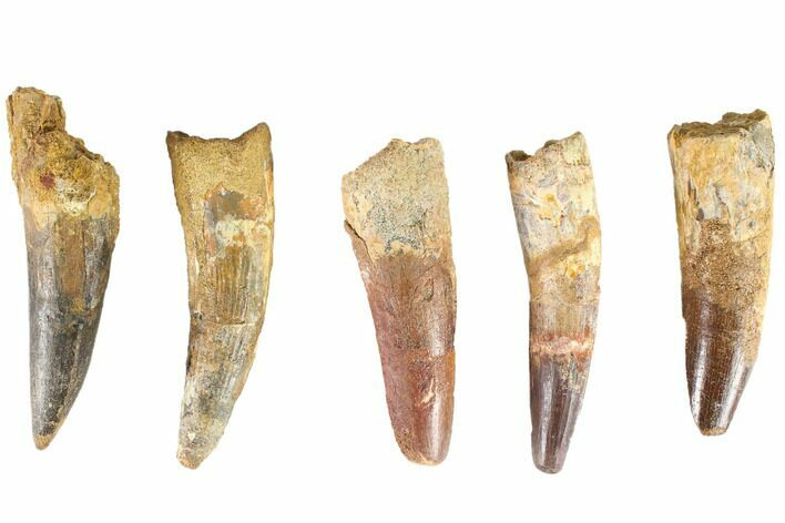 "Wholesale Lot: 3-3.5"", Bargain Spinosaurus Teeth - 5 Pieces"