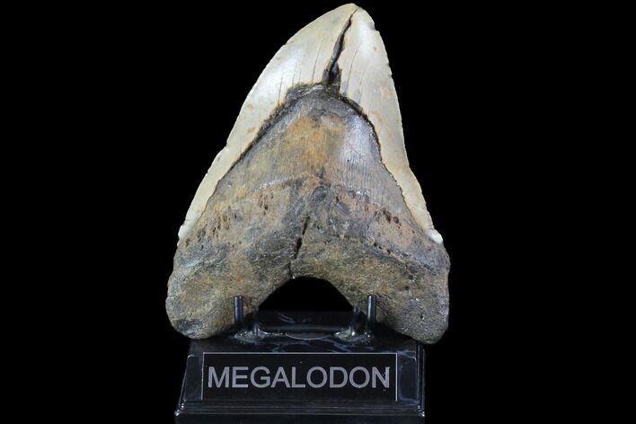 "Bargain, 6.04"" Fossil Megalodon Tooth - Monster Tooth"