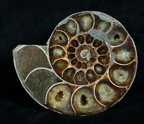 Cut & Polished Desmoceras Ammonite (Half) - 3.7""