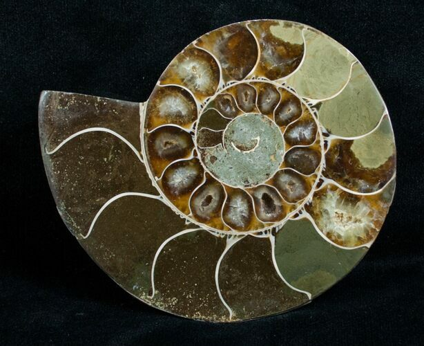 Cut & Polished Desmoceras Ammonite (Half) - 3.3""