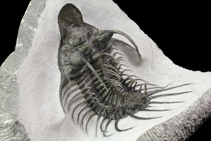 "4"" New Trilobite Species (Affinities to Quadrops) - Very Large!"