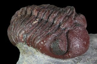 "Buy .95"" Red Barrandeops Trilobite - Hmar Laghdad, Morocco - #86896"