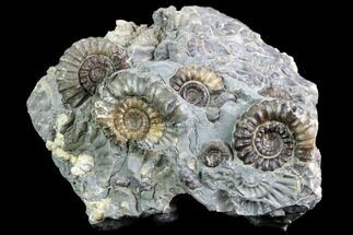 "Buy 2"" Ammonite (Promicroceras) Cluster - Somerset, England - #86224"