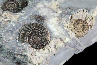 "2.9"" Ammonite (Promicroceras) Cluster - Somerset, England For Sale, #86225"