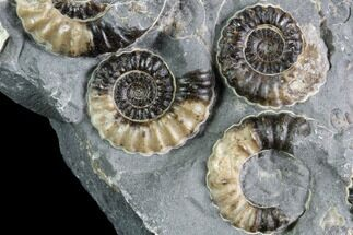 "2.8"" Ammonite (Promicroceras) Cluster - Somerset, England For Sale, #86237"