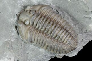 "Buy .95"" Prone Flexicalymene Trilobite - Mt. Orab, Ohio - #85591"