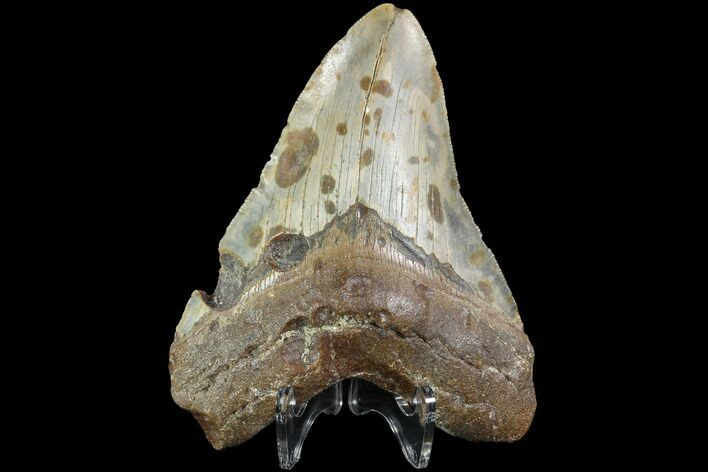 "Bargain, 4.81"" Fossil Megalodon Tooth - North Carolina"