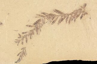 Metasequoia (Dawn Redwood) Fossil - Montana  For Sale, #85790