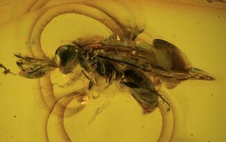 Detailed Fossil Wasp (Hymenoptera) In Baltic Amber For Sale, #87233