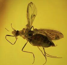 Buy Detailed Fossil Fly (Diptera) In Baltic Amber  - #87079
