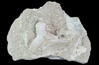 Otodus obliquus - Fossils For Sale - #87348