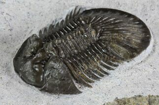 "Buy 1.4"" Scabriscutellum Trilobite - Tiny Axial Spines - #87460"