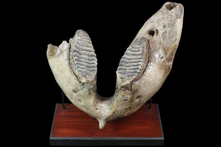 "22"" Wide Woolly Mammoth Lower Jaw With M3 Molars - HUGE!"